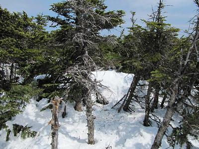 Bushwhacking snowshoe tracks.