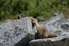 Marmot-sunbathing or awaiting a massage?