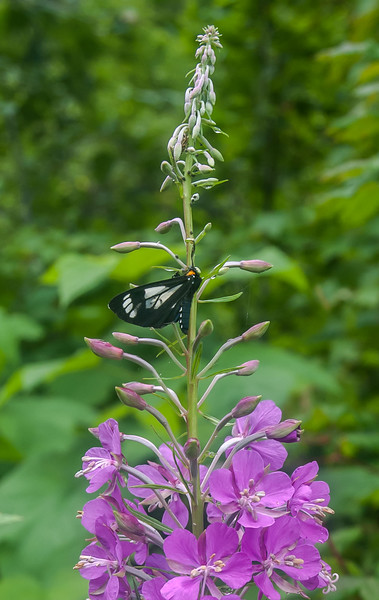 Chamerion angustifolium (fireweed) with associate moth - hike out from Mystic Lake Mt. Rainier backpack - 32