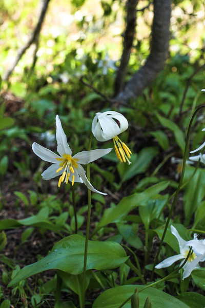 128 - HWW Erythronium montanum (avalanche lily) hike up to Mystic Lake Camp - Mt. Rainier backpack