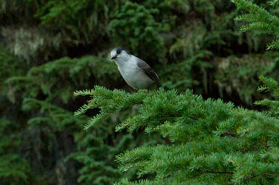 Grey Jay, known as a camp-robber