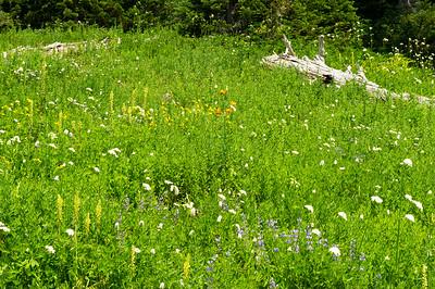 Tiger Lilies among lousebeak, bistort and lupine