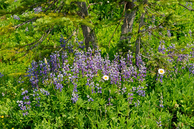 Lupine and mountain daisies, a type of Astor