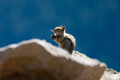 Snack Time for a Ground Squirrel