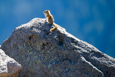 Yellow Pine Chipmonk on High Ground