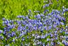 Mt Rainier Wildflowers 105