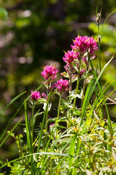 Mt Rainier Flowers 113