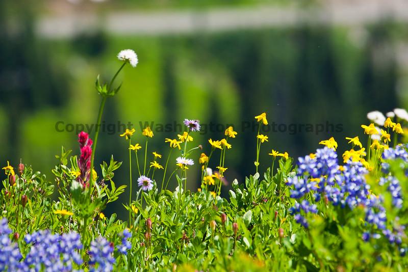 Mt Rainier Flowers 107