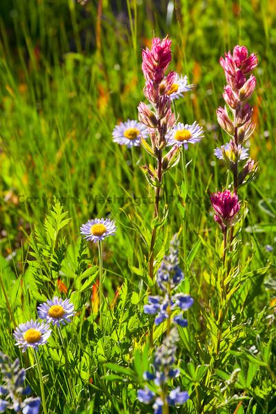 Mt Rainier Flowers 119