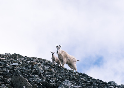 Goats traversing a scree field near Fremont Lookout in the Sunrise area of Mt Rainier National Park