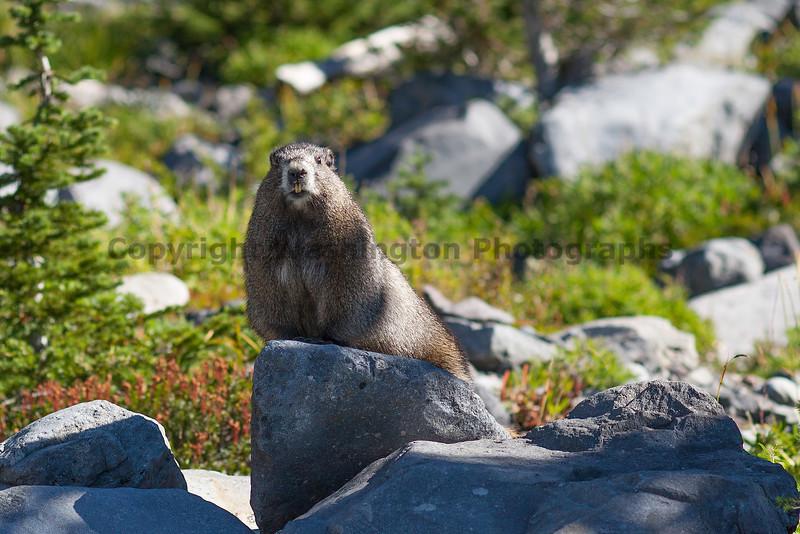 Mt Rainier Wildlife 102