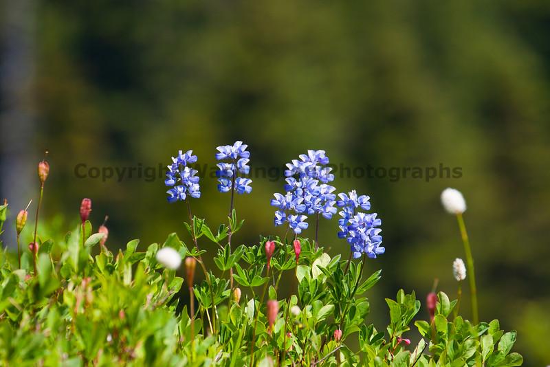 Mt Rainier Flowers 108