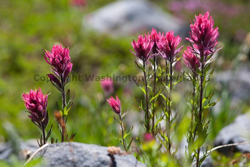 Mt Rainier Flowers 121