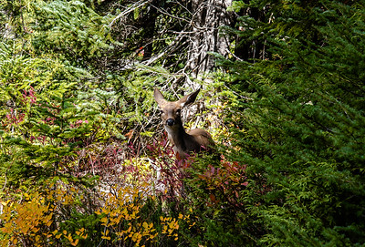 A young doe conceals her fawn as I startled her while descending the Lakes Trail from Paradise Mt Rainer National Park