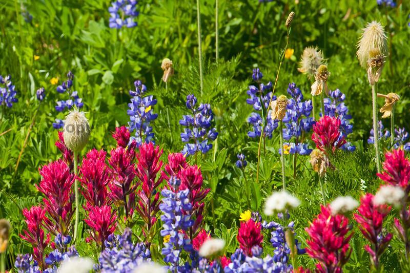 Mt Rainier Flowers 106