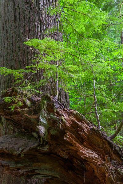 Mt Rainier Grove of the Patriarchs 25