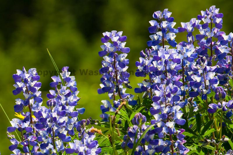 Mt Rainier Flowers 109
