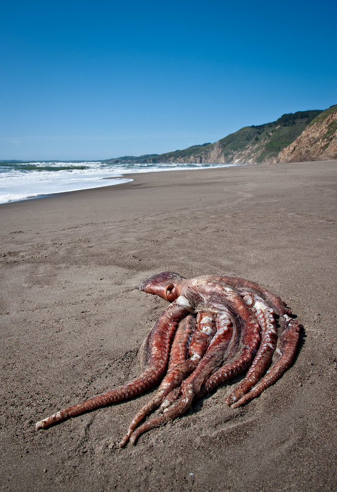 We came across a 4'-long dead octopus on our way back to the trail at Wildcat Camp.