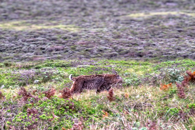 Bobcat sighting!