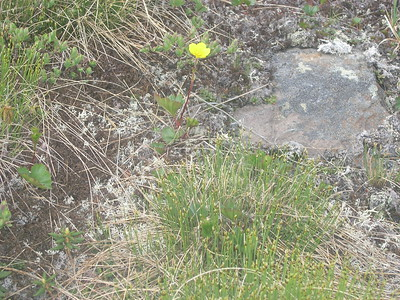 We saw a few awesome yellow Mountain Avens above the Raymond Cataract.