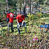 Work crew along with the owner of Muir Landscaping, working on the grounds of a Pelham home, L-R, Andrew Muir, Conner Richards and Zack Cook. SUN/ David H. Brow