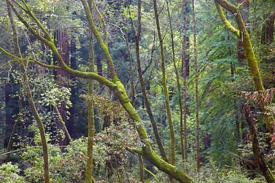 California - Muir Woods