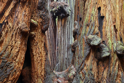 Two trees are joined together. They may have been shoots from an older tree, it is difficult to tell. They are so massive that they simply fuse together when they get too close!