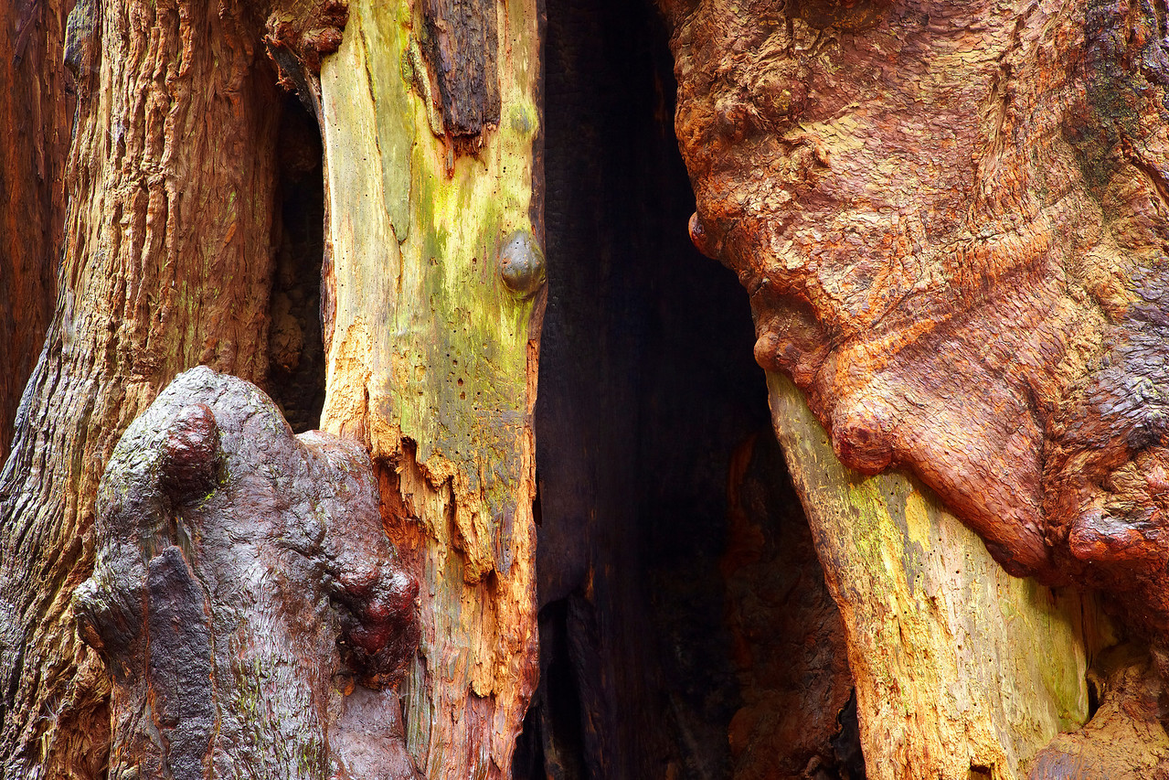 As the trunks grow, they are opened by fire and termites. Then the new wood grows around the openings creating fantastic shapes. The wood is wet, which brings out the vivid color.