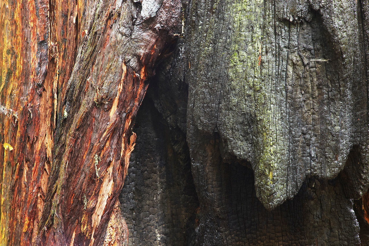The trunks of the Redwood tree are often scarred by summer fires. The new wood then grows around the scar and eventually covers it up completely!