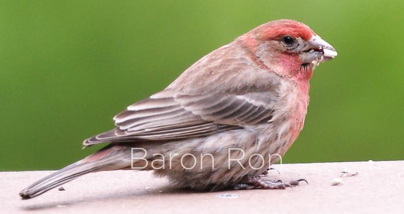 Common Finch