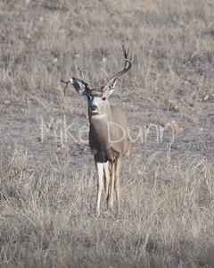 Mule Deer-21