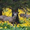 Mule Deer Buck and Balsamroot
