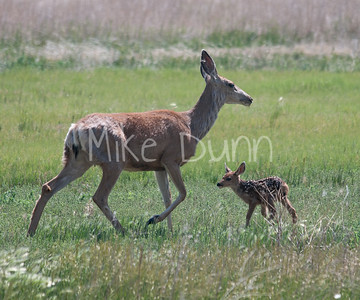 Mule Deer-7