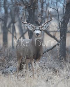 Mule Deer-22