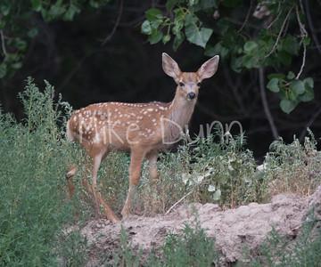 Mule Deer-1