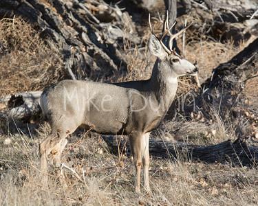 Mule Deer-28