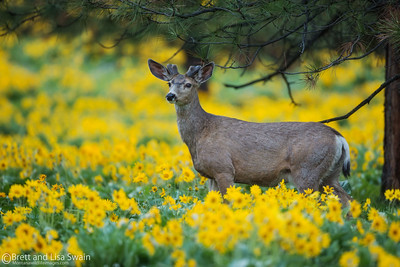 Mule Deer Buck on Yellow