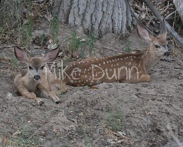 Mule Deer-43