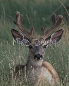Mule Deer-2