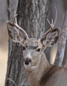 Mule Deer-46