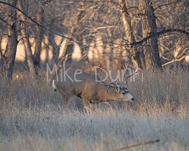 Mule Deer-15