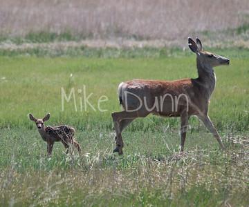 Mule Deer-8