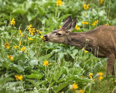 Mule deer doe enjoys an arrowleaf balsamroot flower