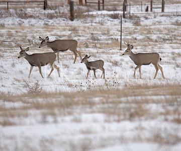 Mule Deer-10
