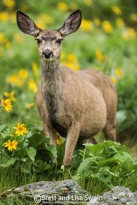 Pregnant Mule Deer Doe In Balsamroot