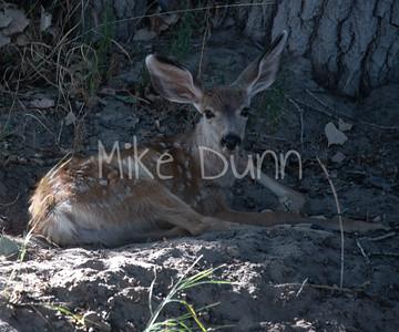Mule Deer-44