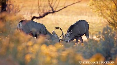 Sparring Mule Deer Bucks