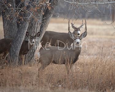 Mule Deer-23