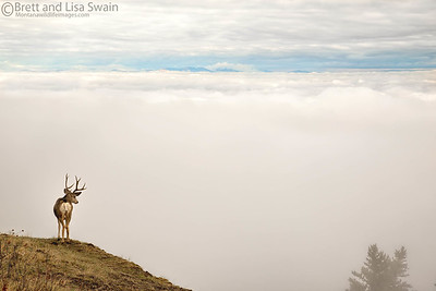 Mule Deer Buck Above the Clouds