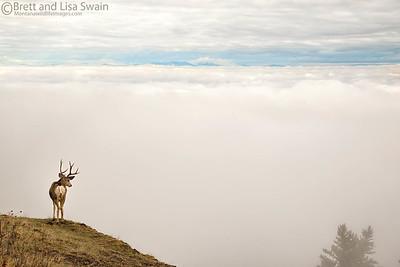 Mule Deer Buck Above the Clouds